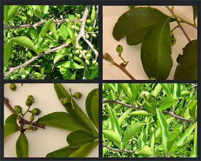 Achatocarpus praecox
