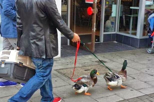 Resultado de imagen para patos paseando