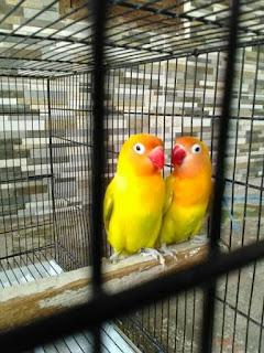sepasang lovebird pastel kuning
