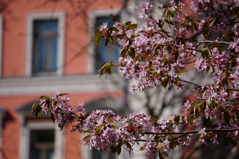 hanami, sakura, kirsikkapuu