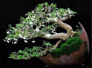 membuat-bonsai-anting-putri