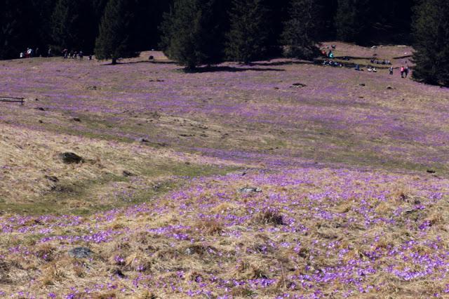 dolina chochołowska krokusy krokus