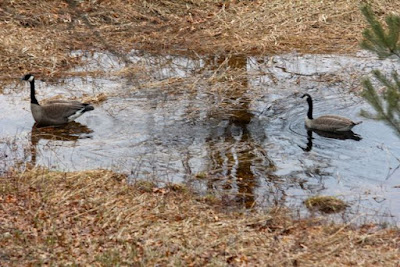 wet Spring, back yard Canada geese
