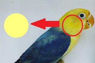 ciri lovebird parblue asli