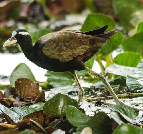 Metopidius indicus