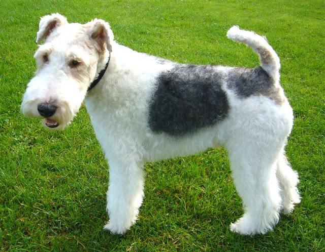 chó cảnh Fox Terrier