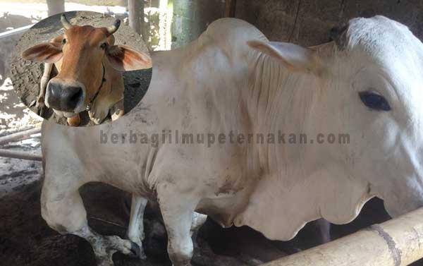 Kaki Ternak Sapi Bengkak, Pincang dan Tidak Bisa Berdiri