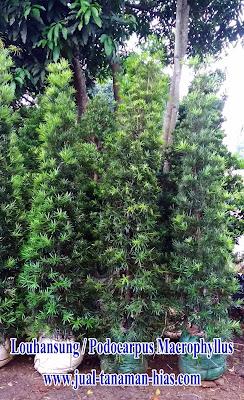 Jual Pohon Louhansung | Podocarpus Macrophyllum | Tanaman Pagar