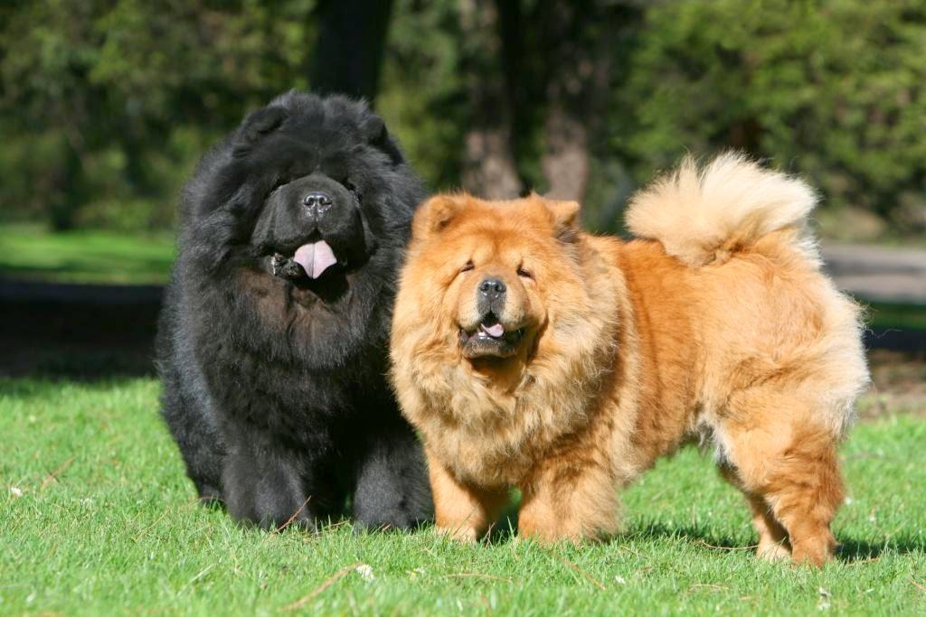 Image result for 2. The Chow-Chow.