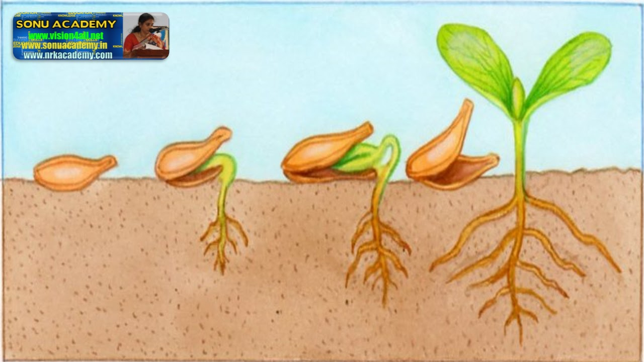seed germination Heavy weight seed germination paper for larger seeds is twice the weight of the  regular weight.