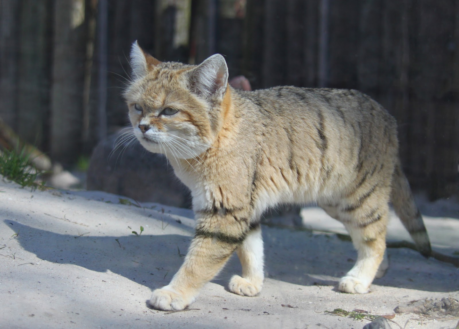 歩いている砂猫