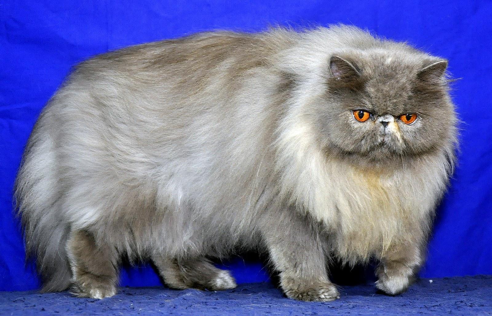 Jadi hal2 yang diperlukan agar kucing kita mempunyai bulu panjang dan lebat  ada beberapa faktor   9b27531363
