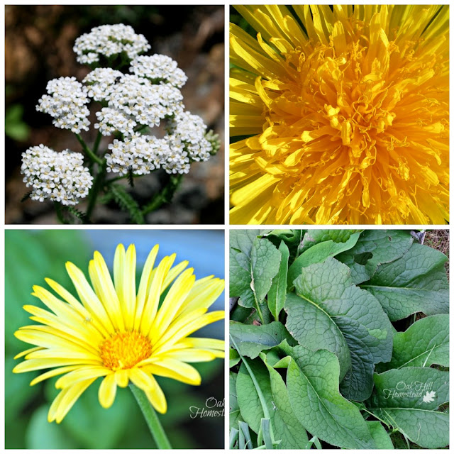 Salve herbs: yarrow, dandelion, calendula, comfrey