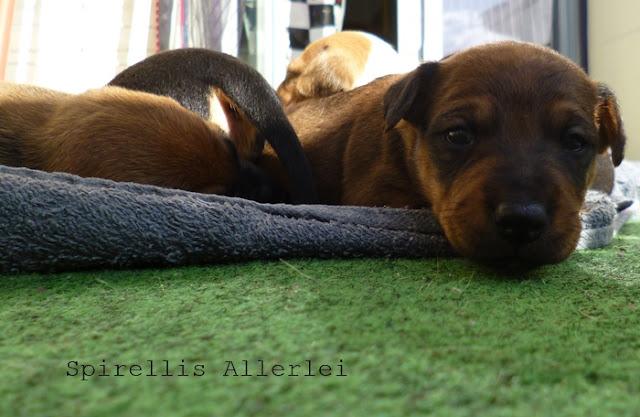Spirellis Allerlei - Süße Hundewelpen nach 4 Wochen