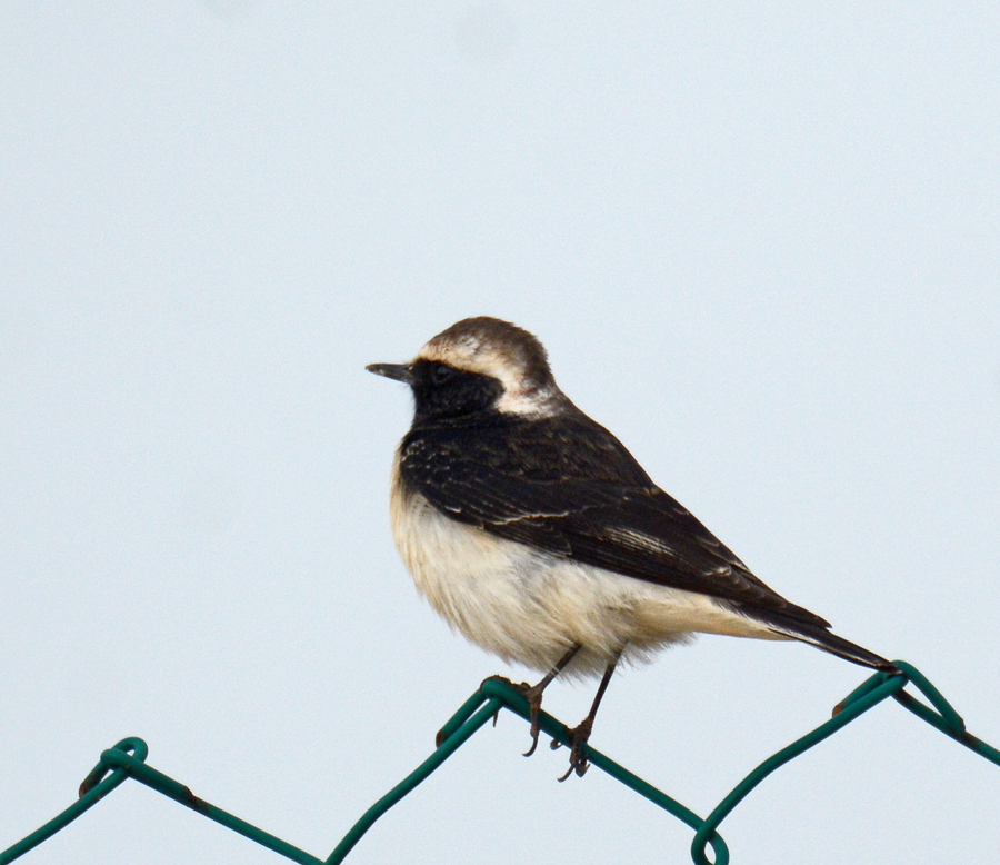 Pied Wheatear - male