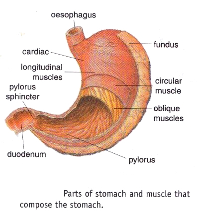 Stomach Parts