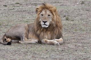 lions on the Massai Mara with Jackson Looseyia