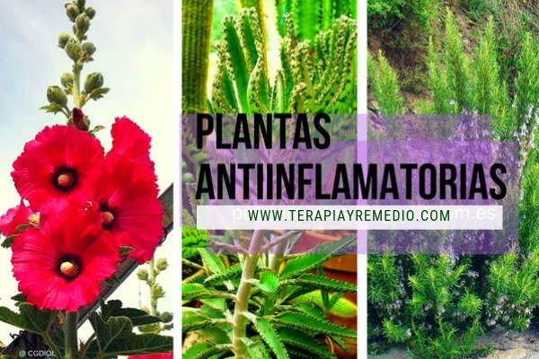 Lista de plantas antiinflamatorias especialmente indicados para tratar infecciones