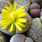 Unik: Lelang batu yang bisa berbunga