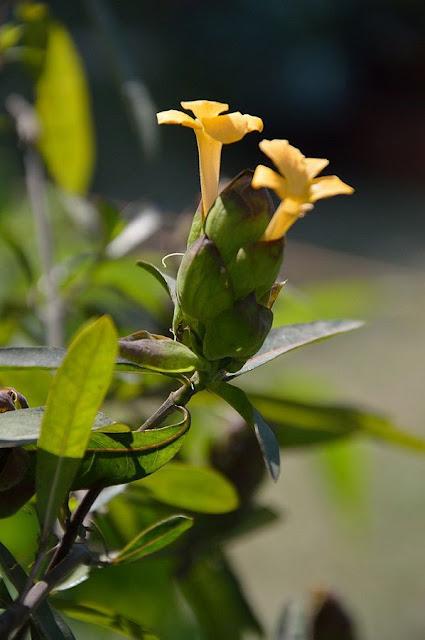 Hoa Cây Kim Vàng - Barleria lupulina - Nguyên liệu làm thuốc Đắp vết thương Rắn Rết cắn