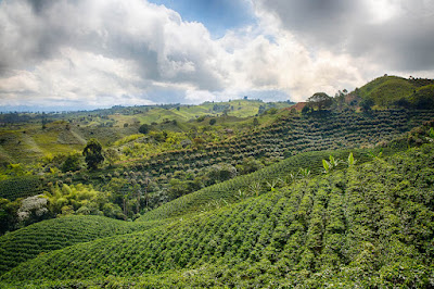 coffee is grown in mountainous terrain on contour