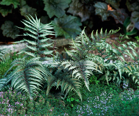 Plantas para zonas sombr as guia de jardin for Jardines pequenos sin sol