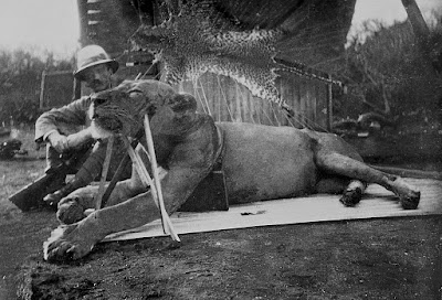 The first Tsavo lion killed by Lt. col. Patterson, 1898