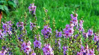 Plantas estivales: Angelonia angustifolia