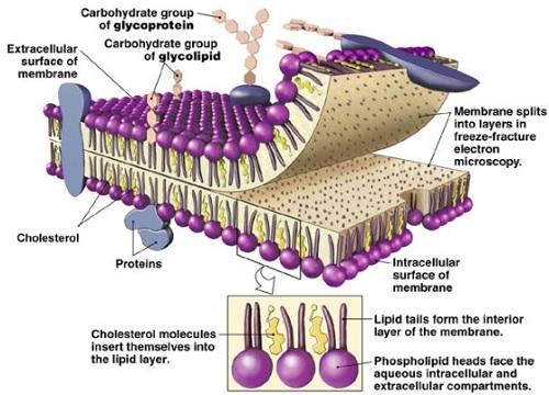 Pengertian Sel & Komponen Kimiawi Penyusun Sel