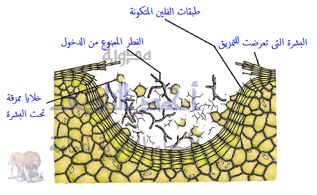 الوسائل المناعية التركيبية الناتجة كإستجابة للإصابة بالكائنات الممرضة ( تتكون بعد الإصابة ) ( المناعة المكتسبة )- الفلين