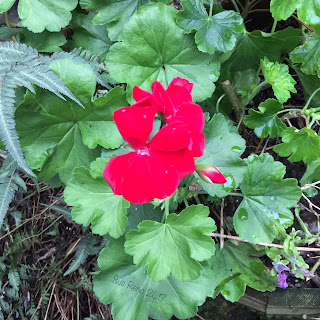 Red pelargonium_Sue Reno