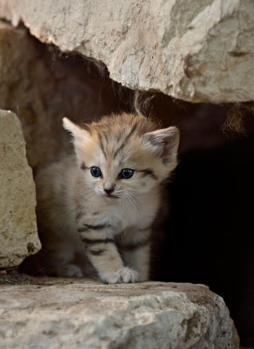 White Wolf : 4 Rare (and Adorable) Sand Cat Kittens Born