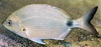 Foto de um peixe marimba
