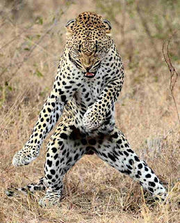 Leopard does elvis