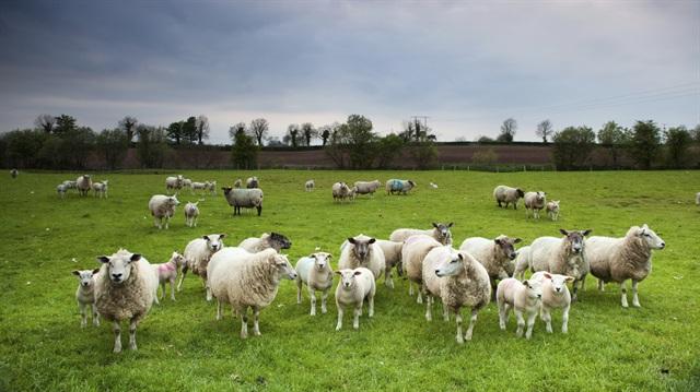 Esrarkeş Koyunlar ortalığı karıştırdı