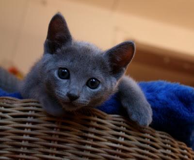 Mavi-Rus-Kedi