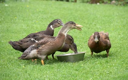 Deskripsi bebek dalam Bahasa Inggris