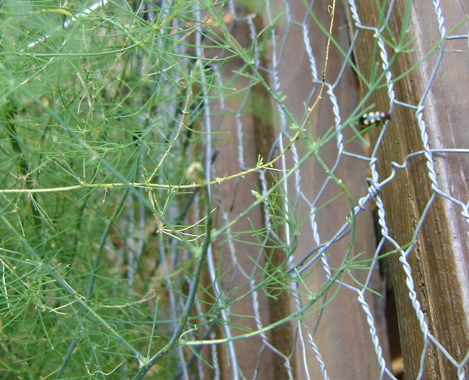 Asparagus Beetle Control: Bunny Whisper Jewelry: How To.....In The Garden