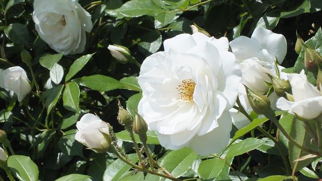 hoa hồng trắng đẹp nhất thế giới 3