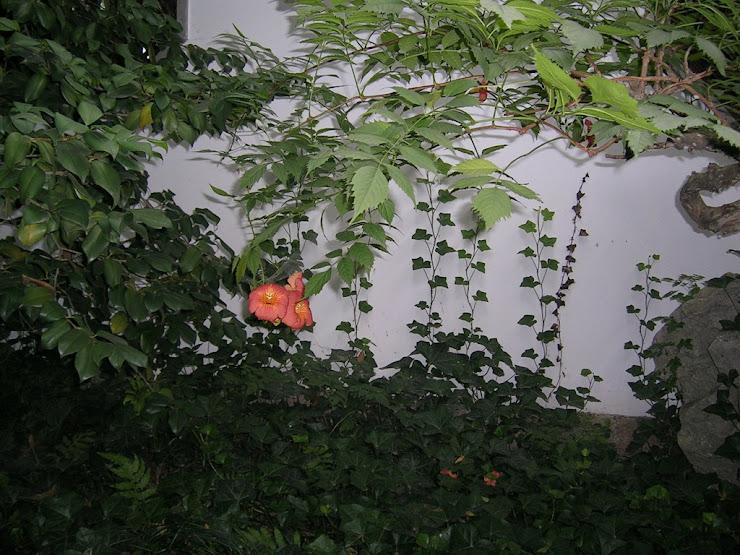 上海の観光地の公園に咲くアメリカノウゼンカズラ2
