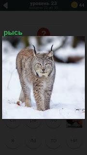 По снегу зимой идет хищник рысь с ушами на которых кисточки