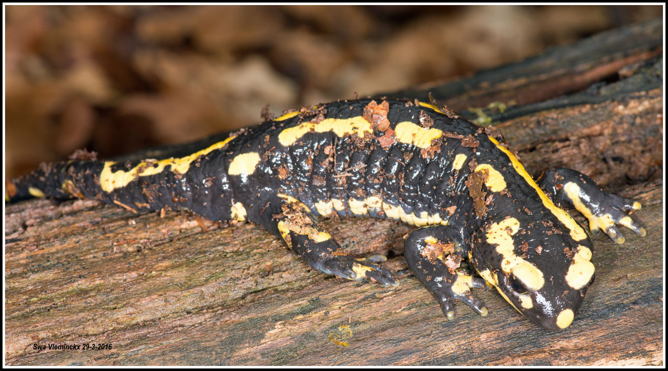 Studio Kwaak: Vuursalamander - Salamandra salamandra