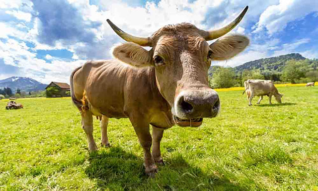 Cow is a sacred animal in Nepal