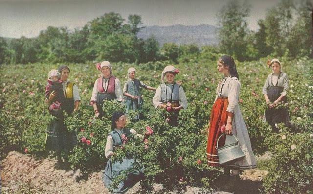 Cosecha de la rosa Valle de las Rosas Kazanlak Bulgaria