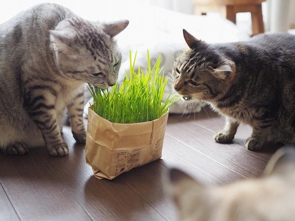 そんな2匹をちょっと離れて見ているシャムトラ猫