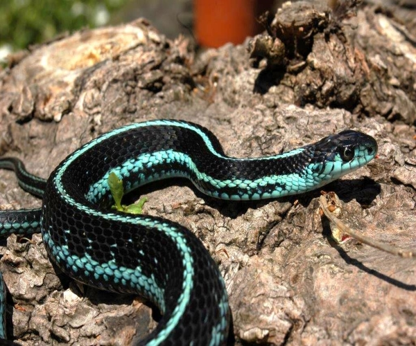 Thamnophis-sirtalis