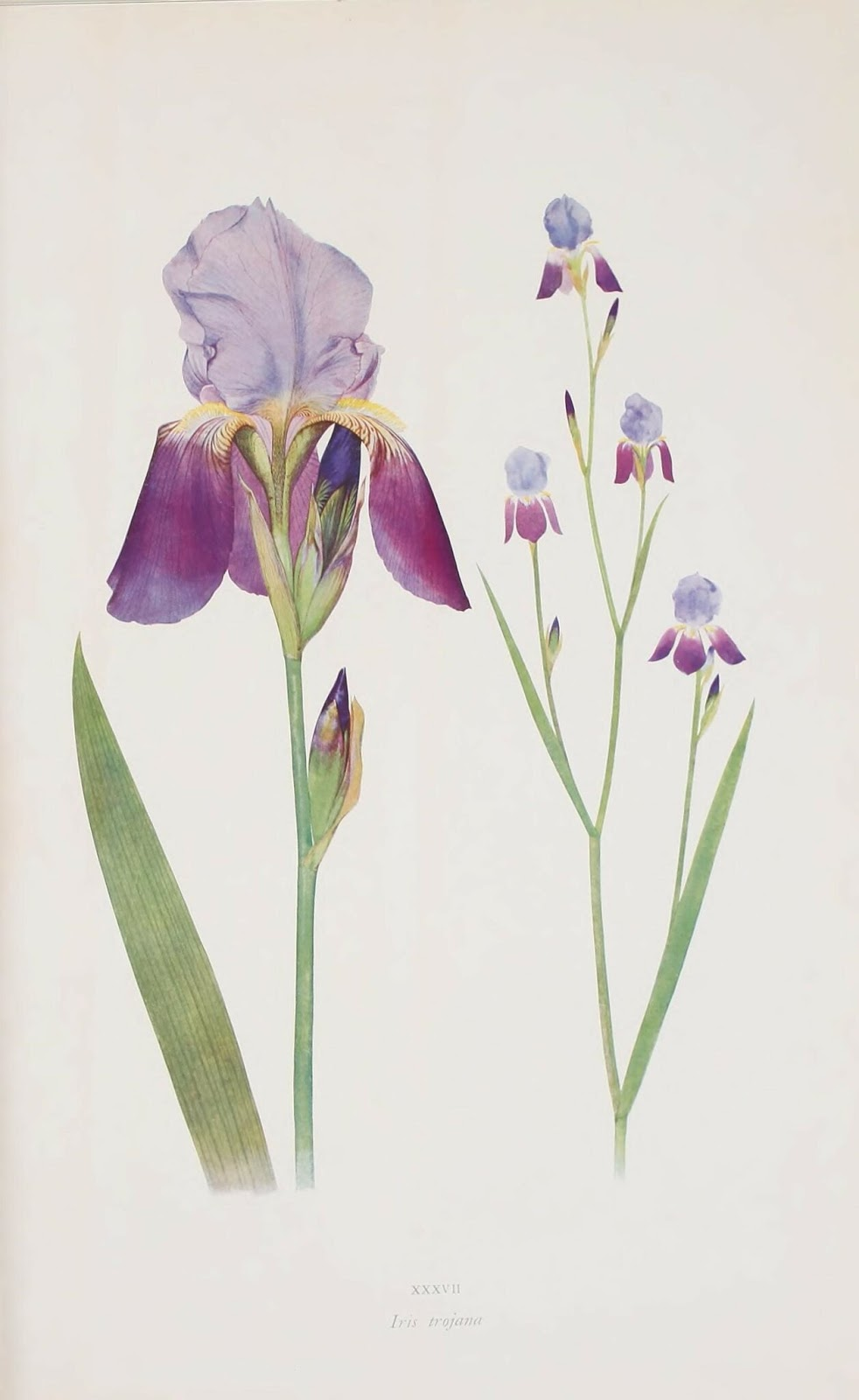 flor de lirio color azul y púrpura