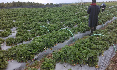 strawberry farming in kenya, naivasha