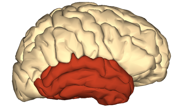 Artist's impression of the cerebrum, with the temporal lobe coloured
