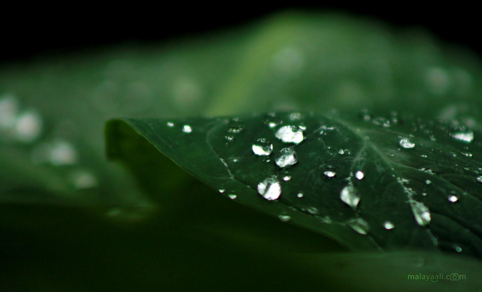 മഴ, മലയാളി, കേരളം, Mazha, Malayali, Malayaali, Kerala, Leaf, Raindrops, Malayali Peringode, Monsoon